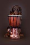 Welpe des Dobermann Terriers und der Trommel Stockbilder