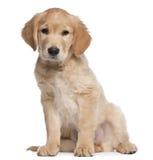 Welpe des goldenen Apportierhunds, 2 Monate alte, sitzend Stockfotografie