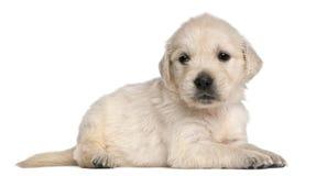 Welpe des goldenen Apportierhunds, 4 Wochen alt Lizenzfreies Stockbild