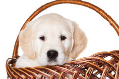 Welpe des goldenen Apportierhunds Lizenzfreies Stockfoto