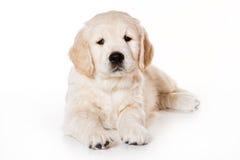 Welpe des goldenen Apportierhunds Lizenzfreie Stockfotografie