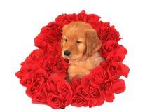 Welpe des goldenen Apportierhunds stockbilder