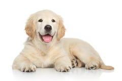 Welpe des goldenen Apportierhunds auf weißem Hintergrund Lizenzfreies Stockfoto