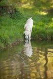 Welpe des goldenen Apportierhunds, der vom See trinkt Lizenzfreie Stockfotos