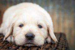 Welpe des goldenen Apportierhunds stockbild