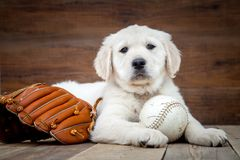 Welpe des goldenen Apportierhunds lizenzfreie stockbilder