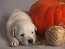 Welpe des goldenen Apportierhunds Schlafens Lizenzfreie Stockfotografie
