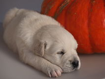 Welpe des goldenen Apportierhunds Schlafens Lizenzfreies Stockbild