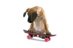 Welpe des großen Dänen auf Skateboard Stockbild