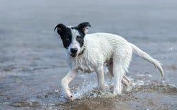 Welpe des Mischzuchthundes, der im Wasser spielt Stockbild