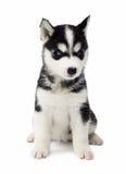 Welpe des sibirischen Huskys Stockfoto