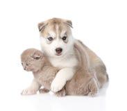 Welpe des sibirischen Huskys, der kleines schottisches Kätzchen umarmt Getrennt Lizenzfreie Stockfotografie