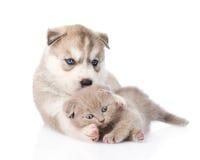 Welpe des sibirischen Huskys, der mit schottischem Kätzchen spielt Lizenzfreies Stockfoto
