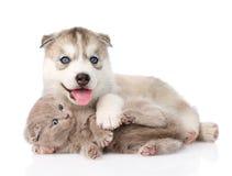 Welpe des sibirischen Huskys, der mit schottischem Kätzchen spielt Stockbild