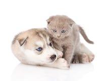 Welpe des sibirischen Huskys, der mit schottischem Kätzchen spielt Getrennt Stockfotos