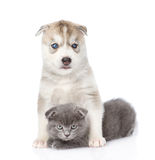 Welpe des sibirischen Huskys, der schottisches Kätzchen umarmt Lokalisiert auf Weiß Stockfotografie