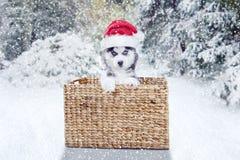 Welpe des sibirischen Huskys mit Sankt-Hut und -korb Stockfotografie