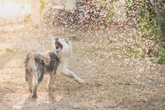 Welpe des sibirischen Huskys rüttelt das Wasser weg von seinem Mantel lizenzfreie stockfotos