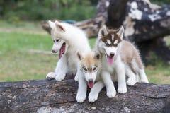 Welpe des sibirischen Schlittenhunds Lizenzfreie Stockfotografie