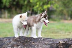 Welpe des sibirischen Schlittenhunds Stockfoto