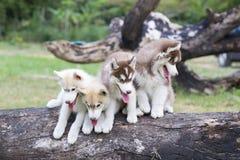Welpe des sibirischen Schlittenhunds Lizenzfreies Stockfoto