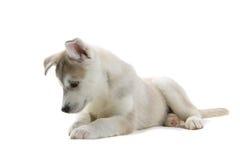 Welpe des sibirischen Schlittenhunds Stockfotos