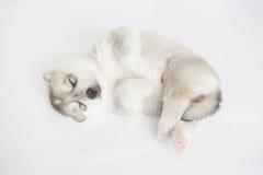 Welpe des sibirischen Schlittenhunds Stockfotografie