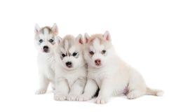 Welpe des sibirischen Schlittenhunds drei getrennt Lizenzfreies Stockbild