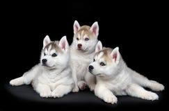 Welpe des sibirischen Schlittenhunds Hunde Lizenzfreies Stockfoto