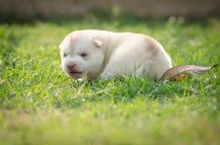 Welpe des sibirischen Schlittenhunds Hunde Stockbilder