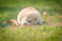 Welpe des sibirischen Schlittenhunds Hunde Lizenzfreie Stockbilder