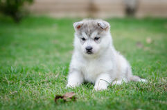 Welpe des sibirischen Schlittenhunds Hunde Lizenzfreies Stockbild