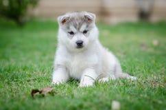 Welpe des sibirischen Schlittenhunds Hunde Lizenzfreie Stockfotografie