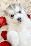 Welpe des sibirischen Schlittenhunds mit blauen Augen Stockfotografie