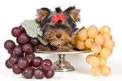Welpe des Terriers Stockfoto