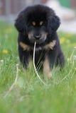 Welpe des tibetanischen Mastiff lizenzfreie stockbilder
