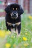 Welpe des tibetanischen Mastiff stockfotos