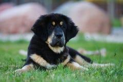Welpe des tibetanischen Mastiff lizenzfreies stockfoto
