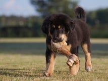 Welpe des tibetanischen Mastiff lizenzfreies stockbild