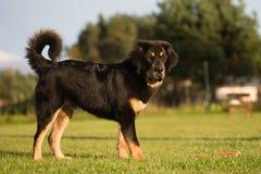 Welpe des tibetanischen Mastiff stockfoto