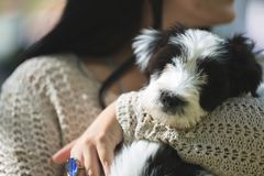 Welpe des tibetanischen Terriers, der Kamera betrachtet Stockfotos