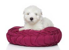 Welpe des Westhochland-weißen Terriers (1 Monat) Stockfoto