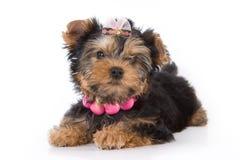 Welpe des Yorkshire-Terriers (York) stockbild