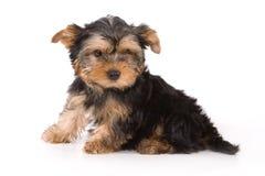 Welpe des Yorkshire-Terriers (York) lizenzfreie stockfotos