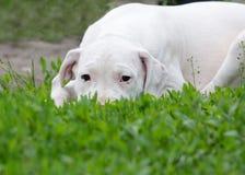 Welpe dogo argentino, das im Gras liegt Stockbilder