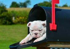 Welpe in einem Briefkasten Stockfotos
