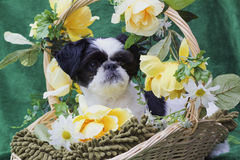 Welpe in einem Frühlingskorb. Stockfotografie