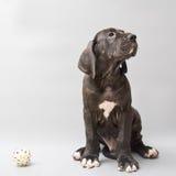 Welpe eines deutschen Mastiff Stockfotos