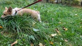 Welpe geht auf das Gras stock video footage