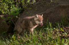 Welpe Grey Wolfs (Canis Lupus) leckt Nase Stockfoto